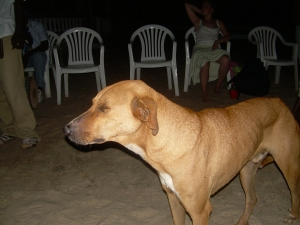 a stray dog in The Gambia